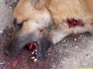 Perdu chienne berge belge couleur sable  Arton5720-f9f71